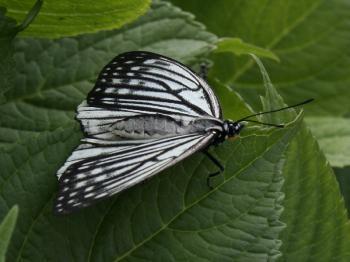 アカボシゴマダラ♀(春個体)