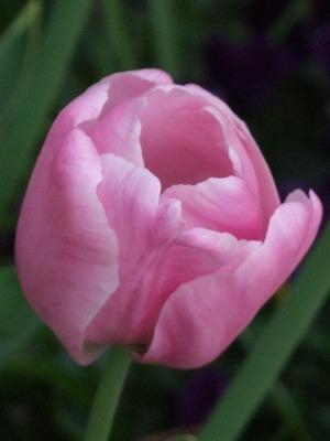pinkdaiyamondo2