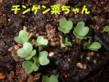 チンゲン菜の芽2