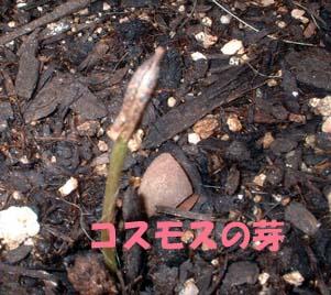 コスモス種1