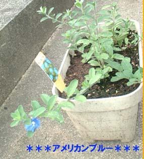 american_blue.jpg