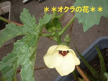 okura_hana.jpg