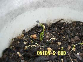 onion_bud1.jpg