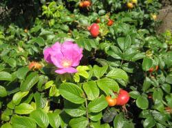 ハマナスの花と実