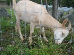 網の向こうで食べていたヤギが・・・