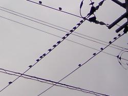 電線に鳥がいっぱい(!o!)