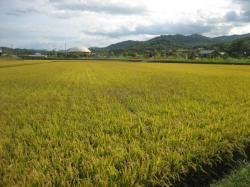 田んぼの稲が黄金色に(*^_^*)