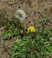 春の花(タンポポ)