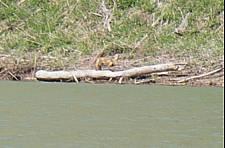 某ダム湖のキタキツネ