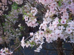 縮小近所の桜