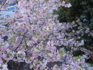 縮小近所の桜2