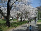 20080429桜-02