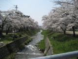 20080429桜-01