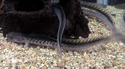 dragonfish1.jpg