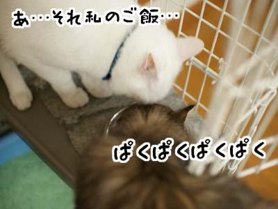 cat1116