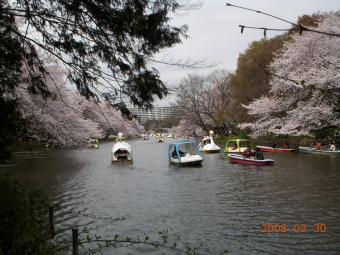 2008桜3