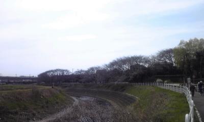 境川のさくら