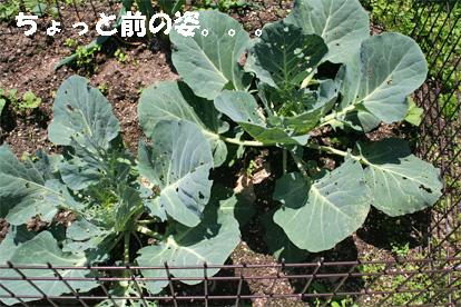 kyabetsu2.jpg
