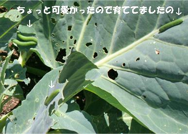 kyabetsu3.jpg