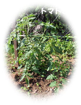 tomato070518-11.jpg