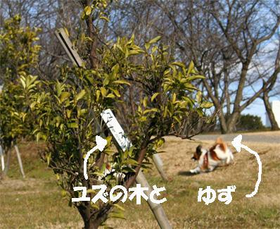 yuzunoki.jpg