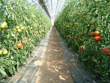 ハウストマト