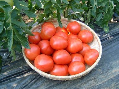 かごトマト