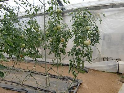 トマト七段目