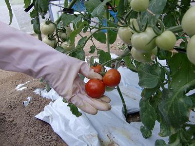 抑制トマト収穫