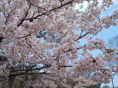 sakura_20080420223140.jpg