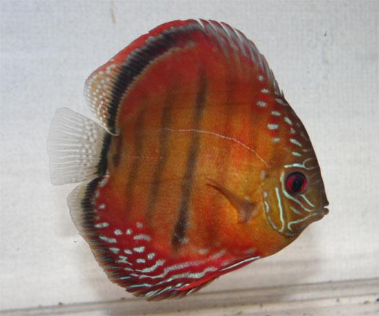 バハマンサ1