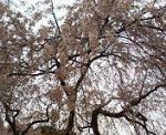 枝垂桜を下から眺める