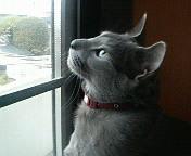 たそがれ灰猫