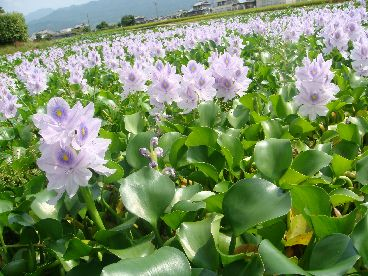 これがホテイアオイの花なのだ!