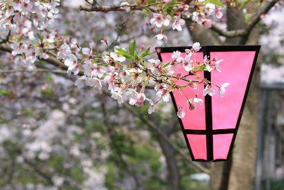 ちょーちんと桜