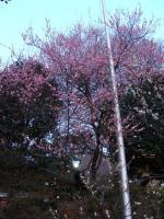 梅 上野公園五條天神社① 2009.02.14