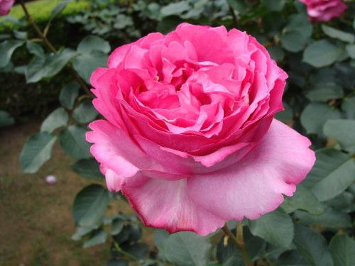 古河庭園09 バラ03 2009.05.21