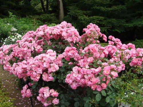 古河庭園09 バラ02 2009.05.21