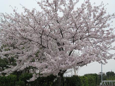 白水桜04