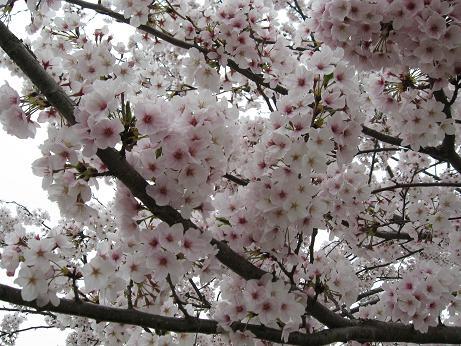 白水桜05