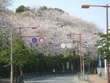 西公園の桜01