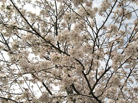 西公園の桜02
