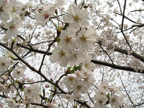 西公園の桜03