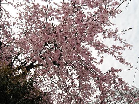 西公園の桜04