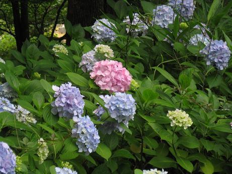 6月の花 04