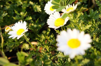 うんが 白い花