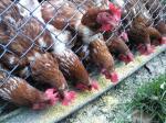 「鶏たち」霧島たまご牧場(宮崎)