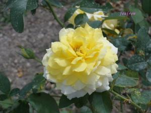 バラ園 黄色のバラ