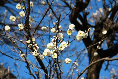 梅の木のアップ