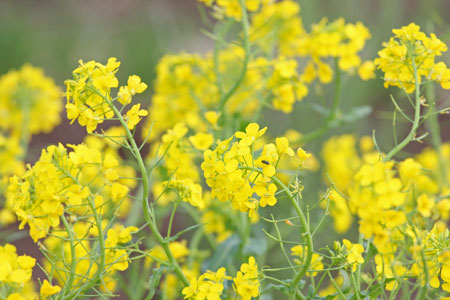 日曜日 菜の花
